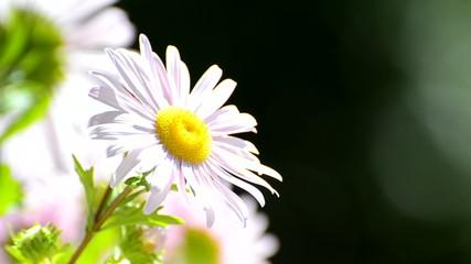 Pink Daisy flower background