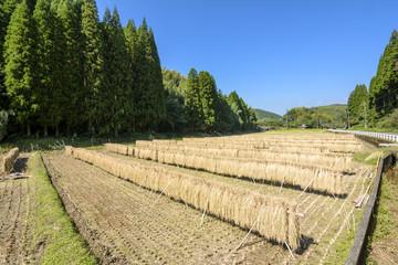 はざ掛けした稲と田