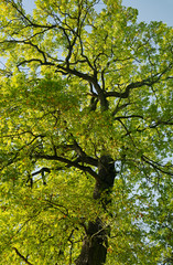 Autumn oak tree.