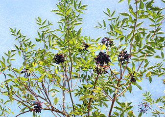 Growing elderberry fruits