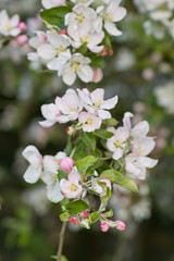flowering apple tree