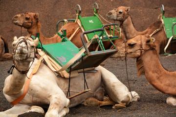camellos descansando