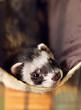ferret lying on its hammock