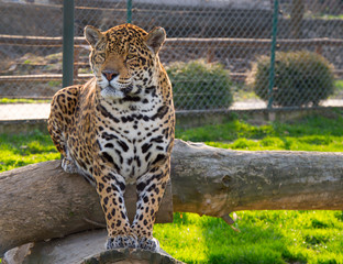 Leopard Jaguar Watching