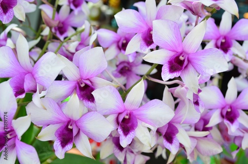 canvas print picture Blooming of Dendrobium Hybrid Orchid Flower