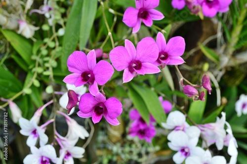 canvas print picture Dendrobium Orchids Flower