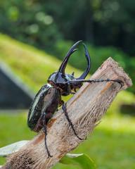 Giant rhinoceros beetle(Chalcosoma caucasus)