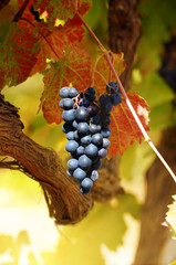 Blue grapes on vine