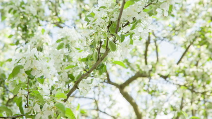 apple tree in blossom, wind blows petals