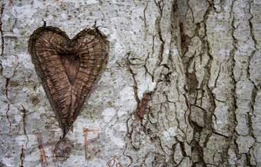 heart in birch tree