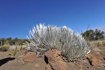 Hawaiian Silversword. Rare plant growing on Mauna Kea volcano