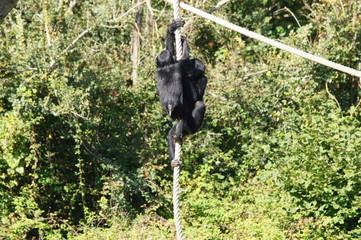 Deux Bonobo jouant avec une corde