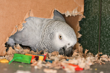 African Grey parrot chewing cardboard box making a nest