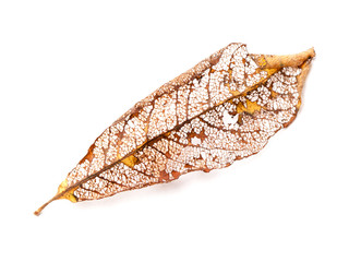Dry autumnal leaf isolated on white