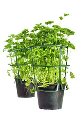 Parsley pots from market , isolated on white