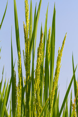 Rice plant against blue sky