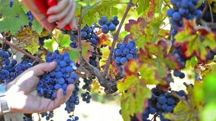 Autumn grape harvest