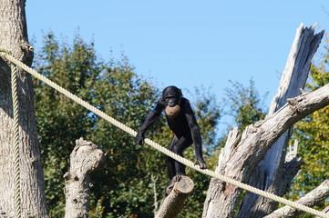 Bonobo se tenant à une corde