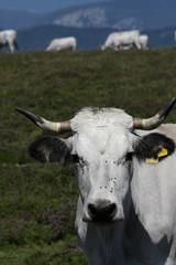 Vache gasconne,Pyrénées