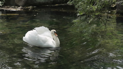 Swan floats on a pond in a park