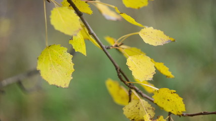 Autumn aspen leaves  blowing in the wind