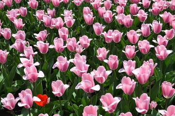 Много розовых тюльпанов и один красный