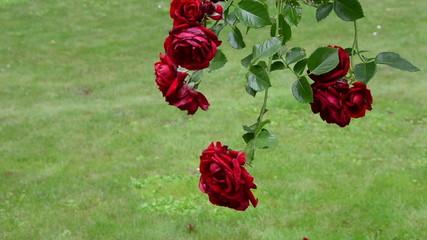 Rose flower branch with big red blooms grow in summer garden