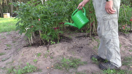 Gardener man with watering can water tomato plants in farm