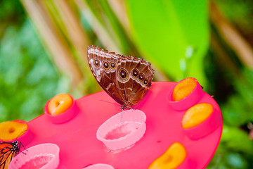 Emperor butterfly drinking honey