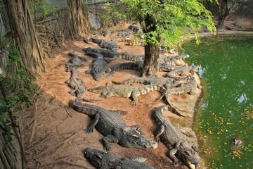 Meny crocodile