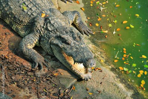 Foto op Plexiglas Krokodil Agresivny crocodile close