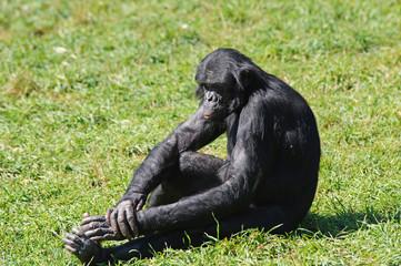 Bonobo assis sur l'herbe