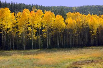 New Mexico Aspens