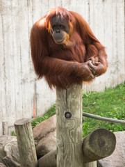 Mature orangutan sitting on a log and looking to the left