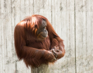 Mature orangutan sitting on a log and looking to the right