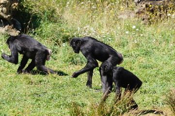 groupe de Bonobo