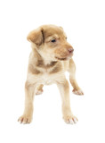 funny puppy mutts standing on white background isolated poster