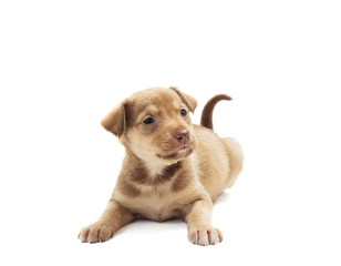 funny puppy on a white background isolated