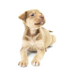 funny puppy lies on a white background