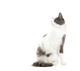 funny cat looking at lifting the front leg on a white background