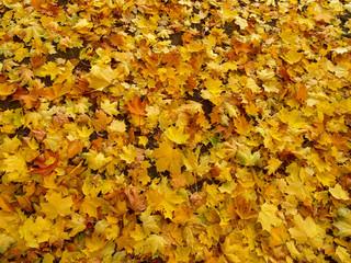 The fallen down autumn leaves