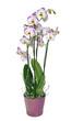 Obrazy na płótnie, fototapety, zdjęcia, fotoobrazy drukowane : orchidée phalaenopsis 4 branches
