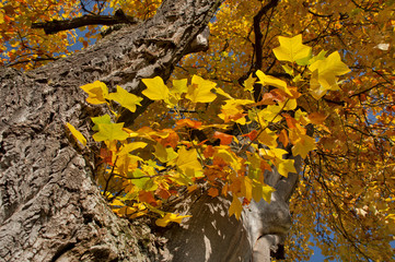 branch of a maple tree in fall