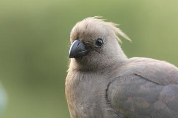 uccello turaco