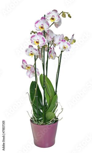 canvas print picture orchidée phalaenopsis 4 branches
