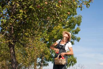 Picking of apples.