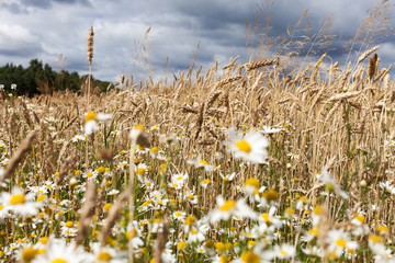 Wheat and flowers.