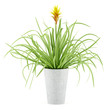 guzmania plant in pot isolated on white background