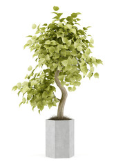 bonsai plant in pot isolated on white background