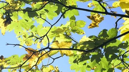Herbst, verfärbte Ahorn Blätter im Wind